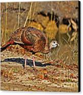 Wild Turkey Canvas Print by Al Powell Photography USA