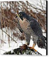Winter Hunt Peregrine Falcon In The Snow Canvas Print by Inspired Nature Photography Fine Art Photography