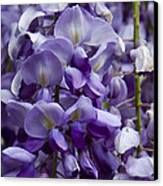 Wisteria Canvas Print by Michael Friedman