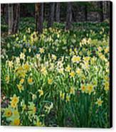 Woodland Daffodils Canvas Print by Bill Wakeley