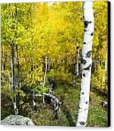 Yellow Aspens Canvas Print by Baywest Imaging