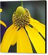 Yellow Cone Flower Rudbeckia Canvas Print by Rich Franco