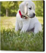 Yellow Lab Puppy In The Grass Canvas Print by Diane Diederich
