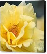 Yellow Rose Macro Canvas Print by Carol Groenen