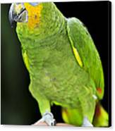 Yellow-shouldered Amazon Parrot Canvas Print by Elena Elisseeva
