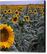 Yellow Sunflower Field Canvas Print by Dave Dilli