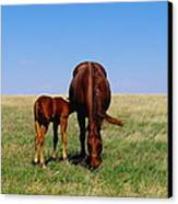 Young Colt And Mother Canvas Print by Jeff Swan