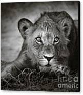 Young Lion Portrait Canvas Print by Johan Swanepoel
