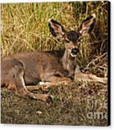 Young Mule Deer Canvas Print by Robert Bales