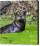 Young River Otter Egan's Creek Greenway Florida Canvas Print by Dawna  Moore Photography
