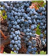 Zinfandel Wine Grapes Canvas Print by Charlette Miller