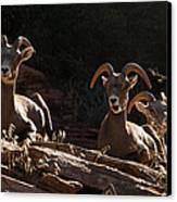 Zion National Park Mountain Sheep Checkerboard Mesa Utah Canvas Print by Robert Ford