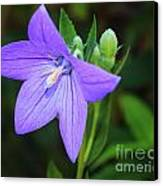 August Balloon Flower Canvas Print by Marjorie Imbeau