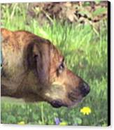 Sighthound At Work Canvas Print by Patty Gross