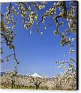 Apple Blossom Trees In Hood River Canvas Print by Craig Tuttle