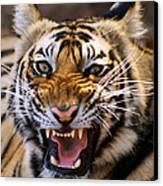 Bengal Tiger (panthera Tigris) Canvas Print by Louise Murray