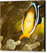 Clarks Anemonefish Among An Anemones Canvas Print by Tim Laman