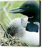 Common Loon, La Mauricie National Park Canvas Print by Philippe Henry