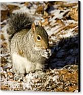 Eastern Gray Squirrel Sciurus Canvas Print by Tim Laman