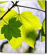Green Leaves Canvas Print by Carlos Caetano