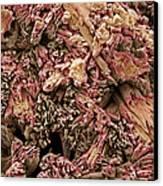 Gypsum Crystals, Sem Canvas Print by Steve Gschmeissner