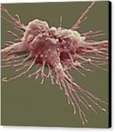 Pluripotent Stem Cell, Sem Canvas Print by Steve Gschmeissner