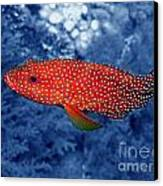 Red Coral Cod Canvas Print by Serena Bowles