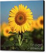 Sunflower Canvas Print by Bernard Jaubert