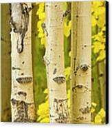 Three Autumn Aspens Canvas Print by James BO  Insogna