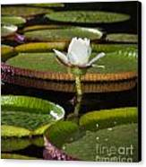 Water Lily Canvas Print by Johan Larson