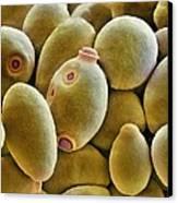 Yeast Cells, Sem Canvas Print by Thomas Deerinck, Ncmir