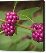 1109-6879 American Beautyberry Or French Mulberry Canvas Print by Randy Forrester