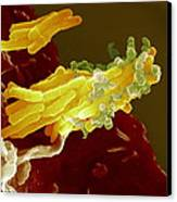 Bacteria Infecting A Macrophage, Sem Canvas Print by