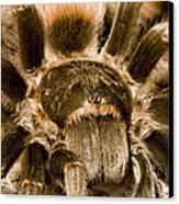 A Tarantula Living In Mangrove Forest Canvas Print by Tim Laman