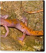 Cave Salamander Canvas Print by Dante Fenolio