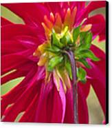 Dahlia (dahlia Cultorum) Canvas Print by Dr. Nick Kurzenko