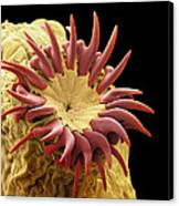 Dog Tapeworm Head, Sem Canvas Print by Steve Gschmeissner