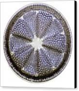 Fossil Diatom, Light Micrograph Canvas Print by Frank Fox