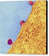 Herpes Simplex Viruses, Tem Canvas Print by Thomas Deerinck, Ncmir