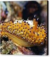 Nudibranch Canvas Print by Georgette Douwma