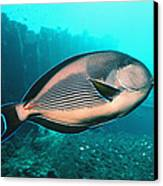 Sohal Surgeonfish Canvas Print by Georgette Douwma