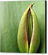 Tulip Canvas Print by Odon Czintos