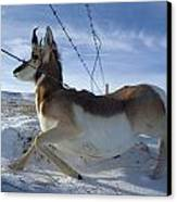 A Barbed Wire Fence Is An Obstacle Canvas Print by Joel Sartore
