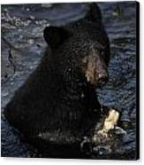 A Black Bear Feeds On Salmon In Anan Canvas Print by Melissa Farlow