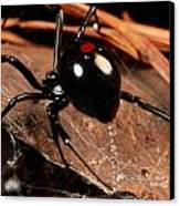 A Black Widow Spider Latrodectus Canvas Print by George Grall