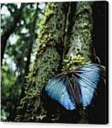 A Blue Morpho Butterfly Canvas Print by Joel Sartore