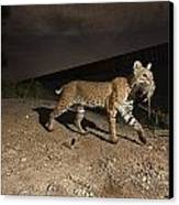 A Bobcat Crosses A Rio Grande Border Canvas Print by Joel Sartore
