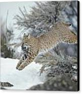 A Bobcat Leaps With A Horned Lark Canvas Print by Michael S. Quinton