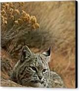A Bobcat Canvas Print by Norbert Rosing