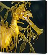 A Diminutive Leafy Sea Dragon Canvas Print by Jason Edwards